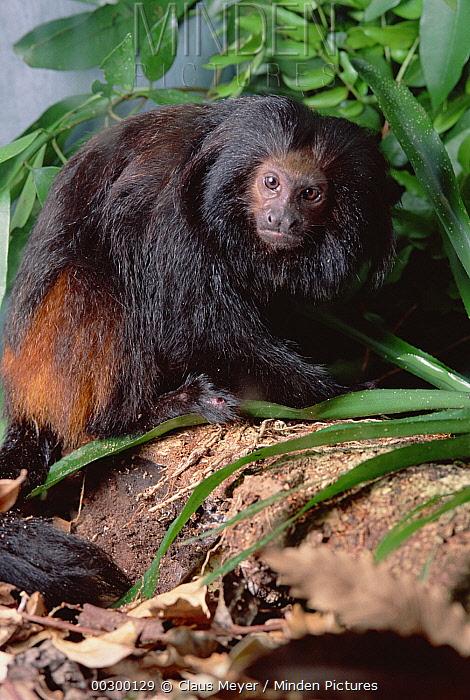 Golden-rumped Lion Tamarin (Leontopithecus chrysopygus) portrait, Atlantic Forest, Brazil  -  Claus Meyer