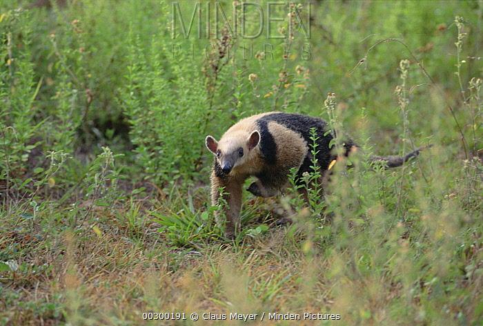 Southern Anteater (Tamandua tetradactyla) walking through grass, Pantanal ecosystem, Brazil  -  Claus Meyer