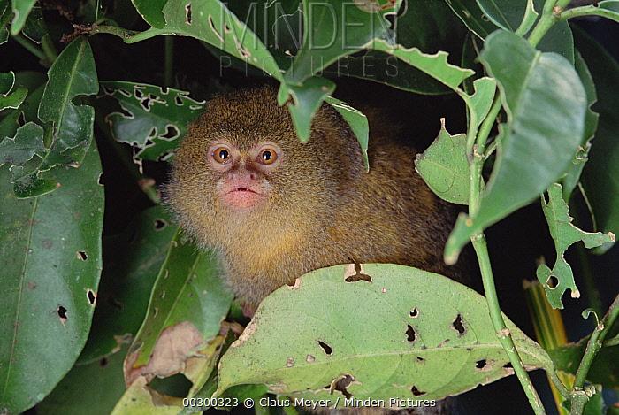 Pygmy Marmoset (Cebuella pygmaea) endangered, portrait, Amazon forest, Brazil  -  Claus Meyer
