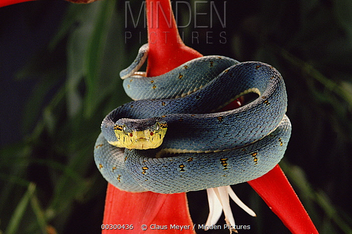 Two-striped Forest Pit Viper (Bothrops bilineatus) coiled around plant, front view, Atlantic Forest ecosystem, Brazil  -  Claus Meyer