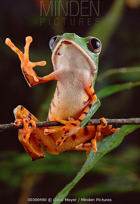 Tiger-striped Leaf Frog (Phyllomedusa tomopterna) waving, Amazon rainforest, Brazil  -  Claus Meyer