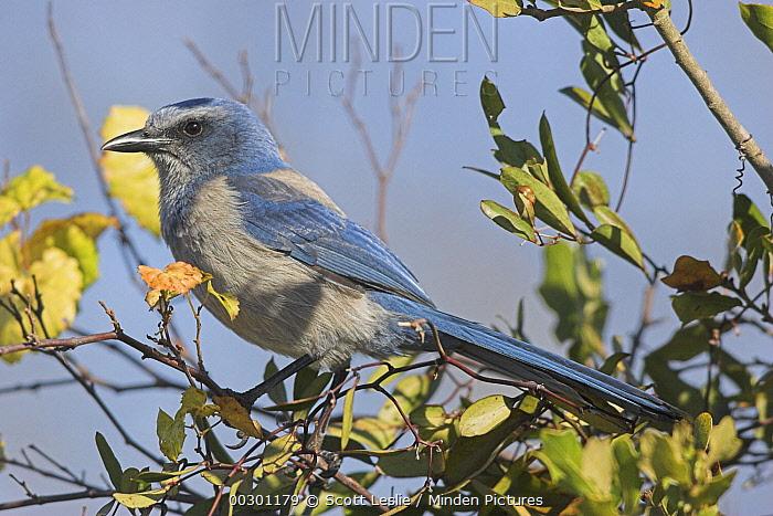 Florida Jay (Aphelocoma coerulescens), Merrit Island National Wildlife Refuge, Florida  -  Scott Leslie