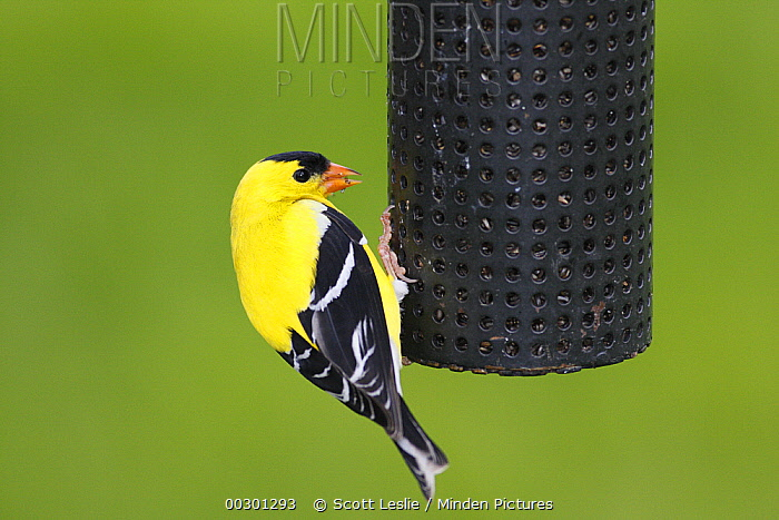 American Goldfinch (Carduelis tristis) male in breeding plumage at feeder, Nova Scotia, Canada  -  Scott Leslie