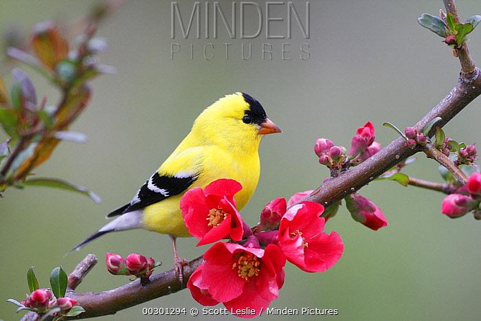 American Goldfinch (Carduelis tristis) male in breeding plumage, Nova Scotia, Canada  -  Scott Leslie