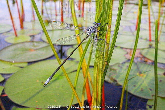 Damselfly (Lestidae) on reed, West Stoney Lake, Nova Scotia, Canada  -  Scott Leslie