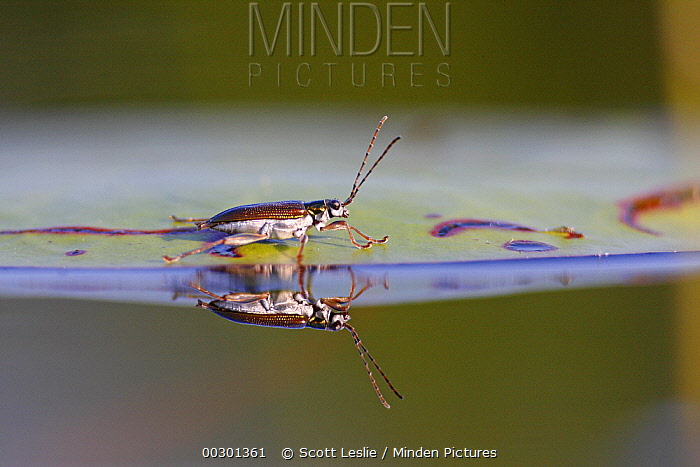 Soldier Beetle (Cantharidae) on lily pad, West Stoney Lake, Nova Scotia, Canada  -  Scott Leslie