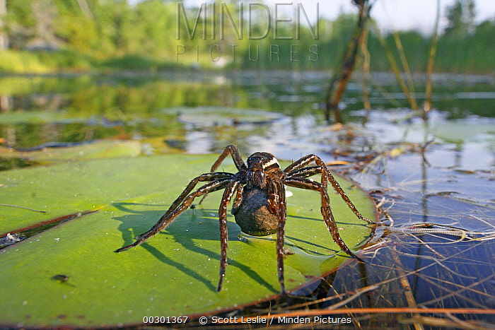 Fishing Spider (Dolomedes sp) female with egg case on lily pad, West Stoney Lake, Nova Scotia, Canada  -  Scott Leslie