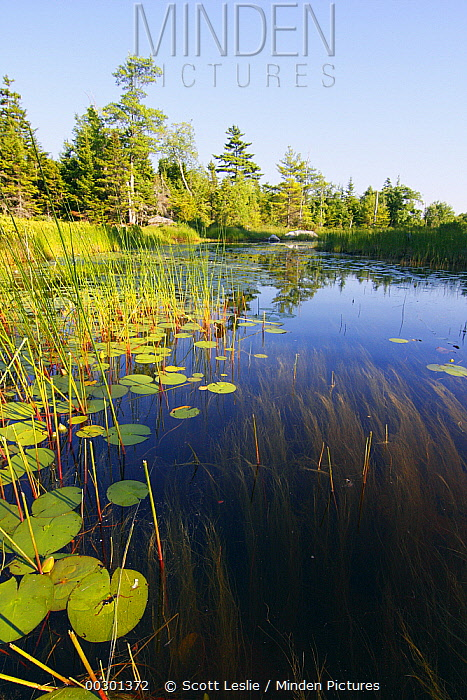 Marsh with reeds and lily pads surrounding a pond, Nova Scotia, Canada  -  Scott Leslie