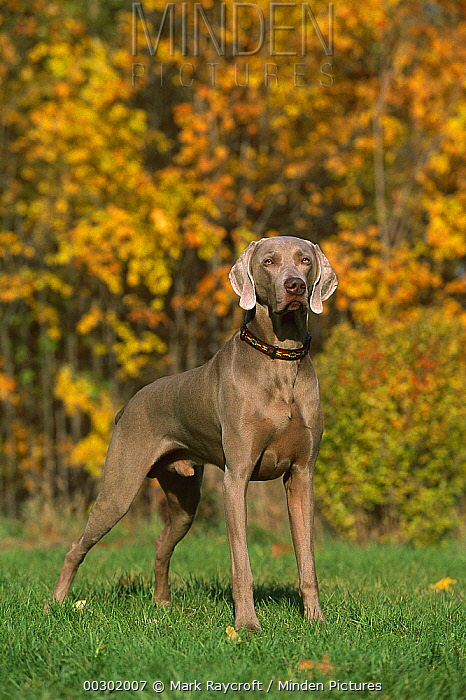 Weimaraner (Canis familiaris) male standing in front of fall leaves  -  Mark Raycroft
