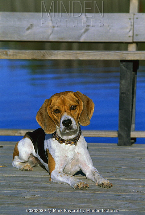 Beagle (Canis familiaris) portrait  -  Mark Raycroft