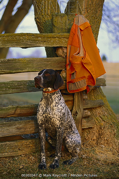 German Shorthaired Pointer (Canis familiaris) waiting by hunting vest  -  Mark Raycroft