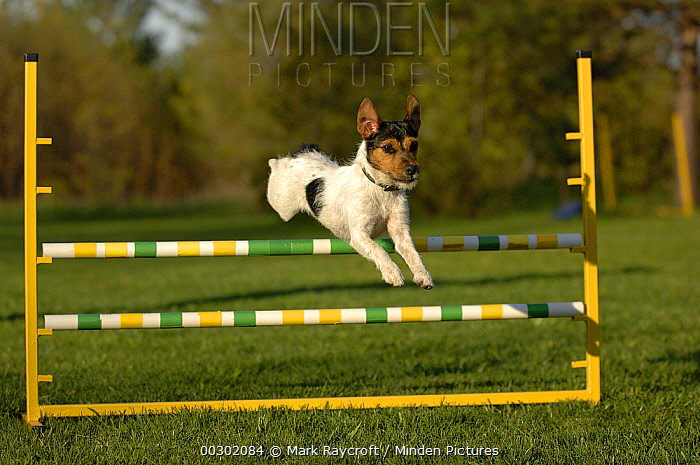 Jack Russell Terrier (Canis familiaris) jumping  -  Mark Raycroft