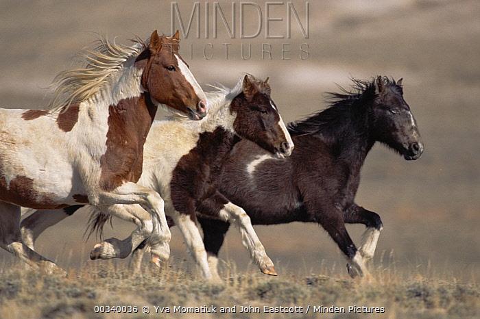 Mustang (Equus caballus) bachelor stallions running together in winter, Wyoming  -  Yva Momatiuk & John Eastcott