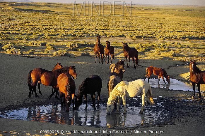 Mustang (Equus caballus) dominant stallions drink first from waterhole, Wyoming  -  Yva Momatiuk & John Eastcott