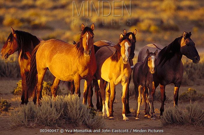 Mustang (Equus caballus) family waits while dominant stallions drink from waterhole, Wyoming  -  Yva Momatiuk & John Eastcott