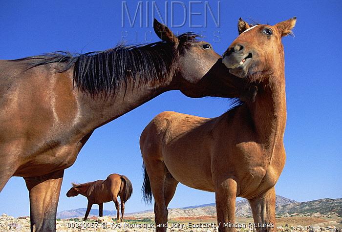 Mustang (Equus caballus) mare and foal interacting on summer range, Wyoming  -  Yva Momatiuk & John Eastcott