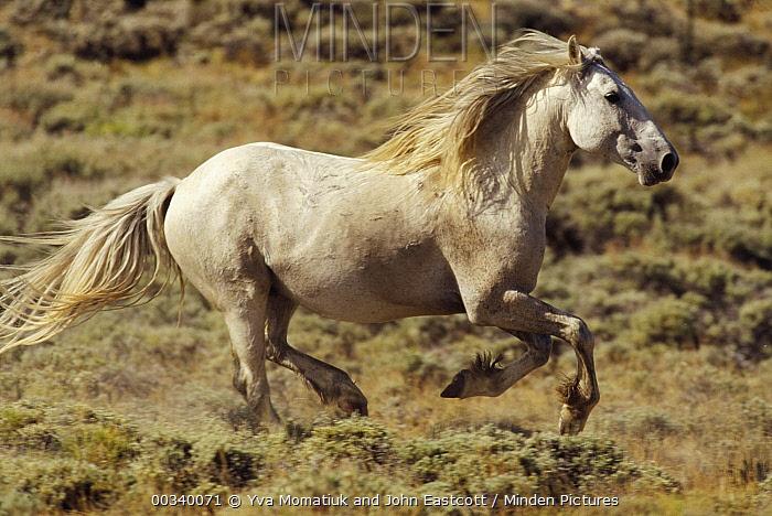 Mustang (Equus caballus) stallion running in winter, Wyoming  -  Yva Momatiuk & John Eastcott