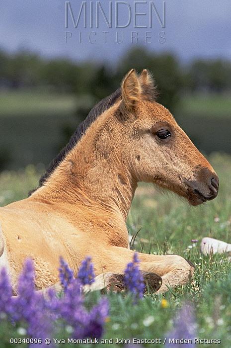 Mustang (Equus caballus) spring foal resting in grass, Pryor Mountain Wild Horse Range, Montana  -  Yva Momatiuk & John Eastcott