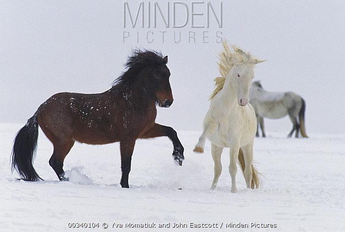 Mustang (Equus caballus) stallions posturing and interacting on winter range, Wyoming