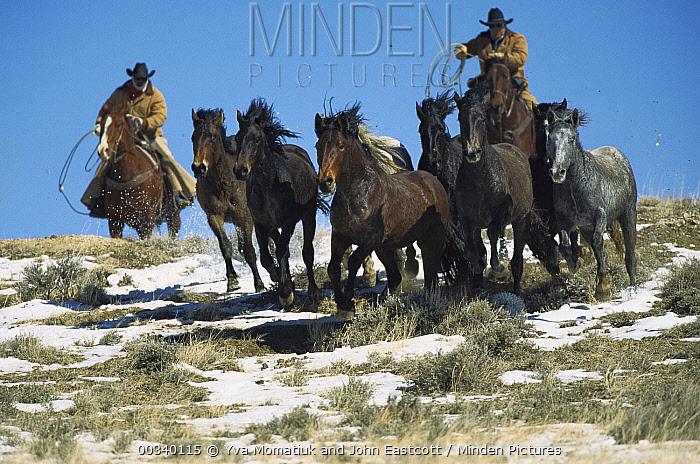 Mustang (Equus caballus) chased by Bureau of Land Management wranglers who round up surplus horses for adoption, Wyoming  -  Yva Momatiuk & John Eastcott