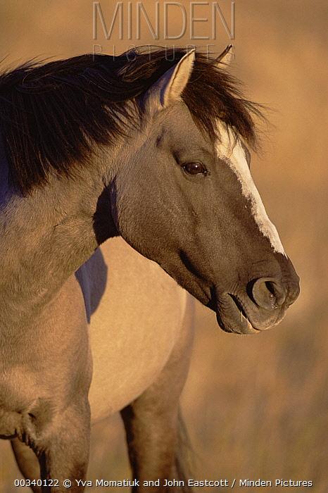 Mustang (Equus caballus) harem stallion portrait, autumn, Cayuse Ranch, Wyoming  -  Yva Momatiuk & John Eastcott