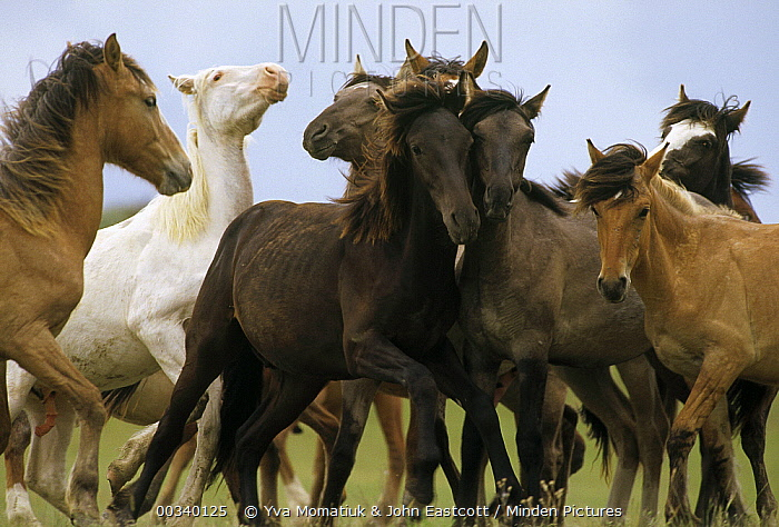 Mustang (Equus caballus) young stud colts playing, Oshoto, northern Wyoming