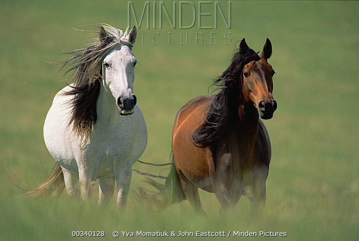 Mustang (Equus caballus) mares running in tall grass, Wyoming