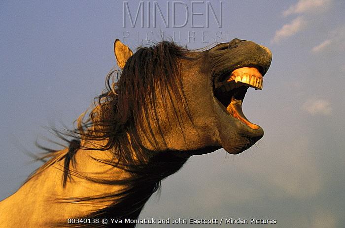 Mustang (Equus caballus) stallion yawning in evening sunlight, Wyoming