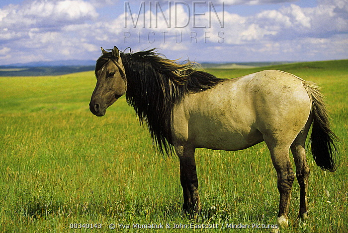 Mustang (Equus caballus) stallion with long mane that protects blood vessels in neck during winter, Wyoming  -  Yva Momatiuk & John Eastcott