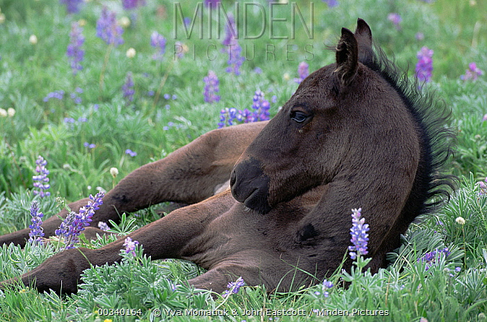 Mustang (Equus caballus) foal resting in alpine flowers, Montana  -  Yva Momatiuk & John Eastcott
