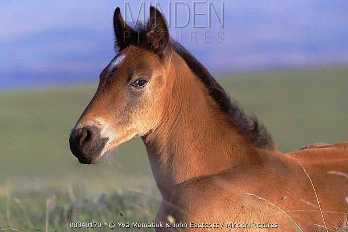 Mustang (Equus caballus) spring foal resting in summer grass, Pryor Mountain Wild Horse Range, Montana