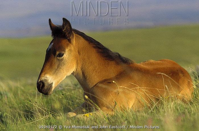 Mustang (Equus caballus) spring foal resting in summer grass, Pryor Mountain Wild Horse Range, Montana  -  Yva Momatiuk & John Eastcott