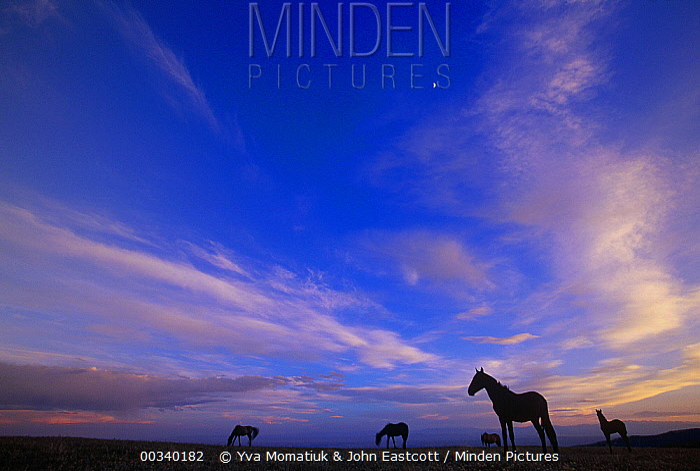 Mustang (Equus caballus) family band grazing under evening sky, Pryor Mountain Wild Horse Range, Montana