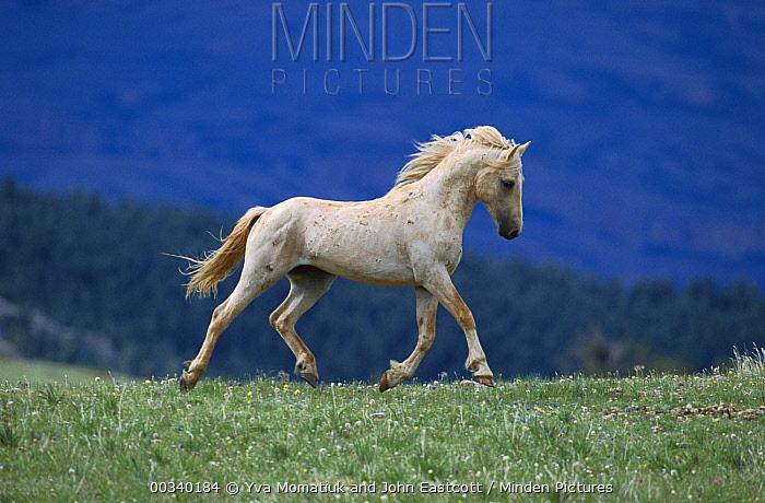 Mustang (Equus caballus) bachelor palomino stallion prancing along ridge on summer range, Pryor Mountain Wild Horse Range, Montana