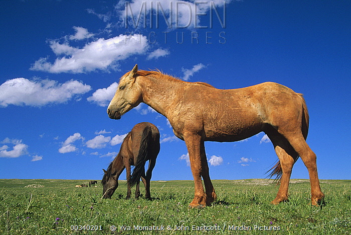 Mustang (Equus caballus) bachelor stallions grazing together, Pryor Mountain Wild Horse Range, Montana