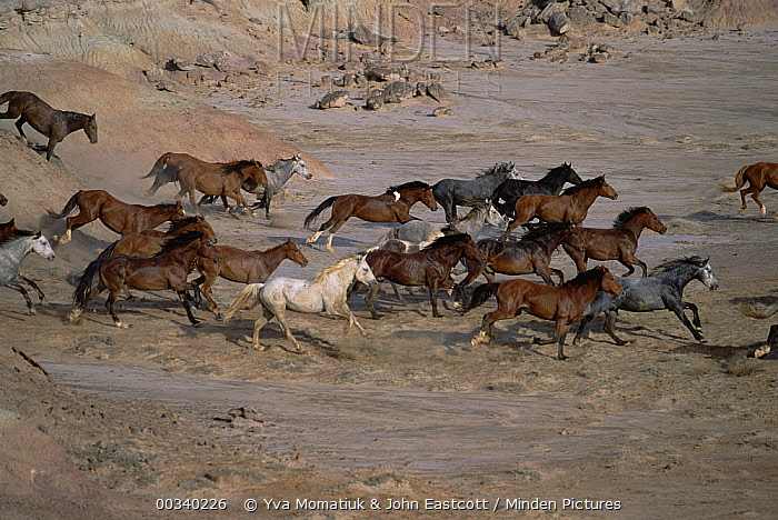 Mustang (Equus caballus) family band running together in desert, Fifteen Mile Herd Management Area, central Wyoming
