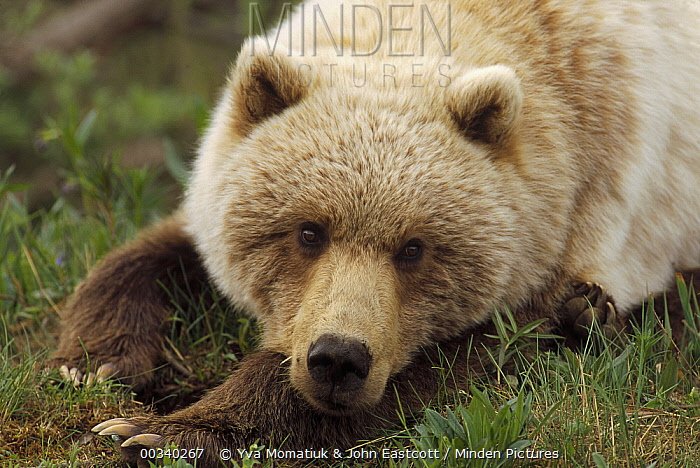 Grizzly Bear (Ursus arctos horribilis) young female with porcupine quills stuck in lip, Denali National Park and Preserve, Alaska  -  Yva Momatiuk & John Eastcott