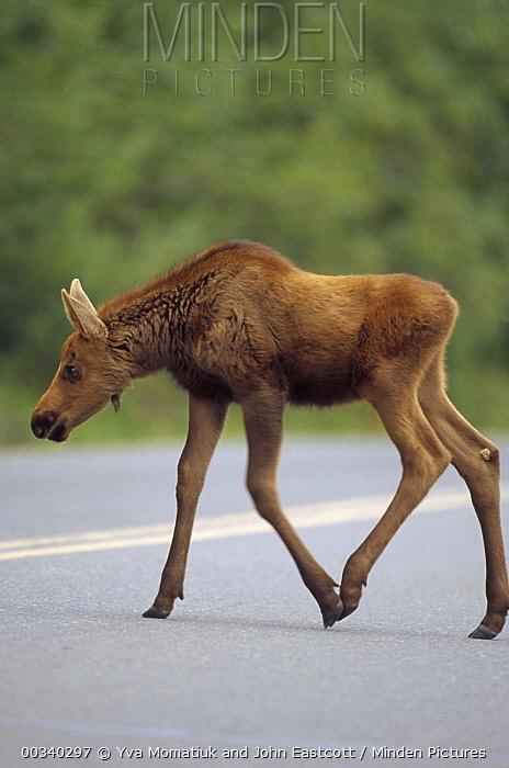 Alaska Moose (Alces alces gigas) calf crossing road in summer, Denali National Park and Preserve, Alaska  -  Yva Momatiuk & John Eastcott