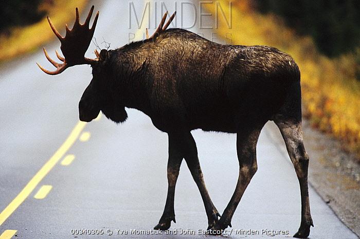 Alaska Moose (Alces alces gigas) young bull crossing road at dusk, Denali National Park and Preserve, Alaska  -  Yva Momatiuk & John Eastcott
