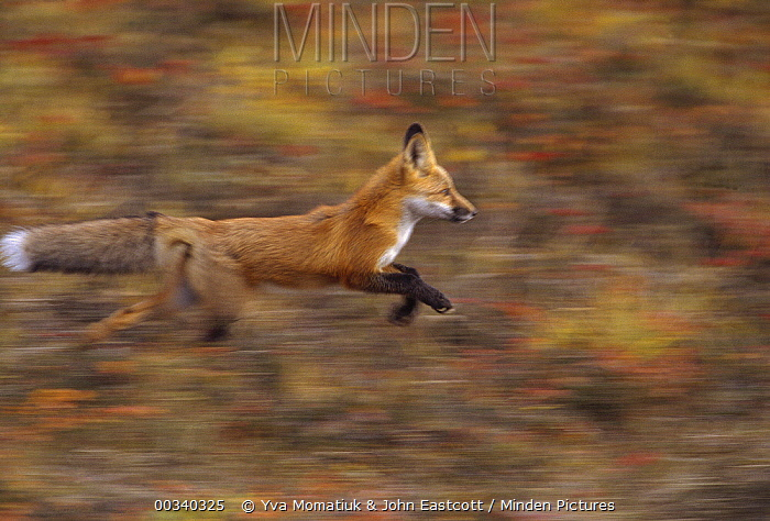 Red Fox (Vulpes vulpes) pup running along ridge near den, North Slope, Alaska  -  Yva Momatiuk & John Eastcott