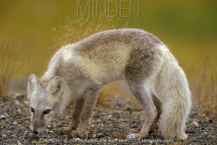 Arctic Fox (Alopex lagopus) adult looking for food in gravel bar in summer, North Slope, Alaska  -  Yva Momatiuk & John Eastcott