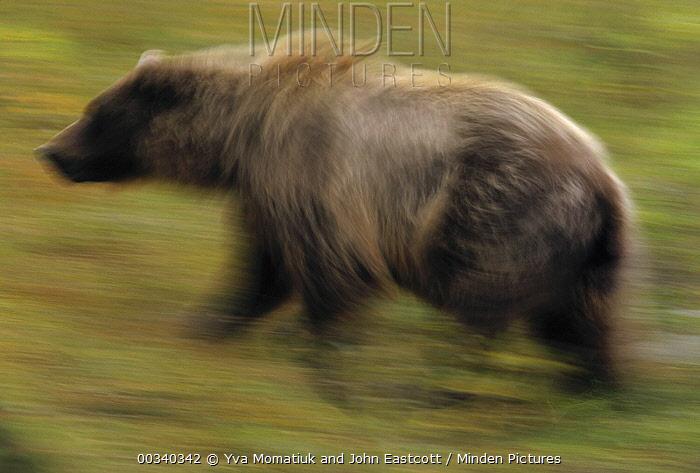 Grizzly Bear (Ursus arctos horribilis) sow running in fall tundra, Denali National Park and Preserve, Alaska  -  Yva Momatiuk & John Eastcott