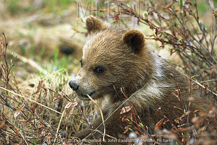 Grizzly Bear (Ursus arctos horribilis) spring cub exploring bushes, Denali National Park and Preserve, Alaska  -  Yva Momatiuk & John Eastcott