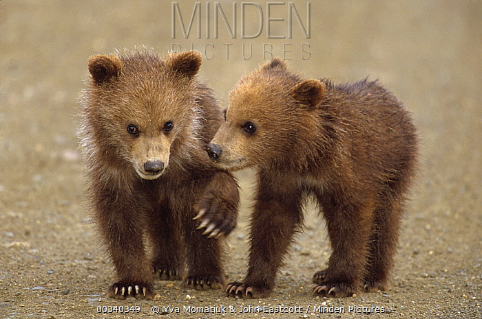 Grizzly Bear (Ursus arctos horribilis) pair of spring cubs, Denali National Park and Preserve, Alaska