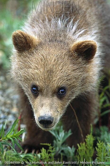 Grizzly Bear (Ursus arctos horribilis) portrait of curious spring cub, Denali National Park and Preserve, Alaska  -  Yva Momatiuk & John Eastcott