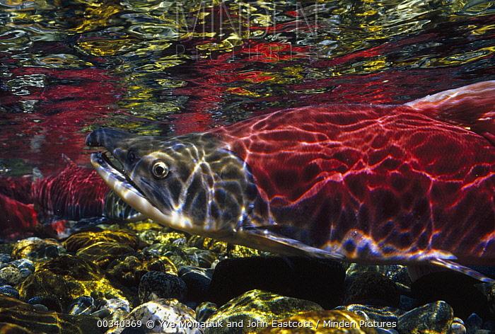 Sockeye Salmon (Oncorhynchus nerka) swimming to spawning grounds in Gulkana River, Alaska