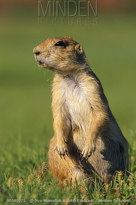 Black-tailed Prairie Dog (Cynomys ludovicianus) watchful, near burrow, summer, Devil's Tower National Park, Wyoming  -  Yva Momatiuk & John Eastcott