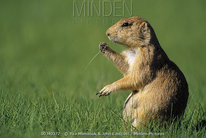 Black-tailed Prairie Dog (Cynomys ludovicianus) eating grass in summer, Devil's Tower National Park, Wyoming