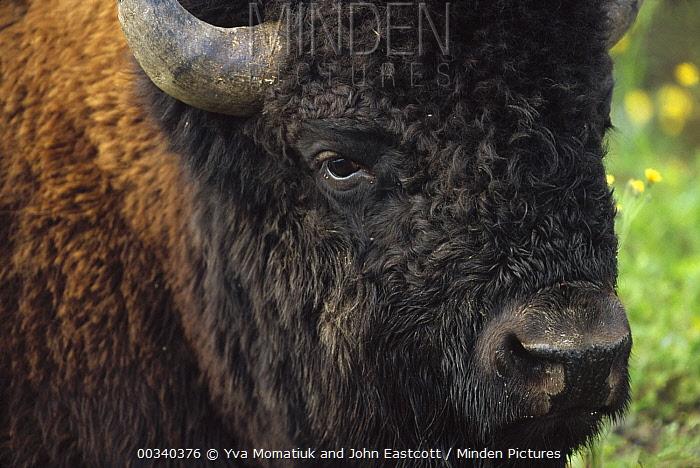 Horn Minden minden pictures stock photos wood bison bison bison athabascae