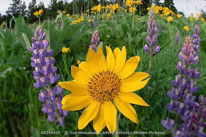 Common Sunflower (Helianthus annuus) flowers and Large-leaved Lupine (Lupinus polyphyllus) in summer, Pryor Mountain, Montana  -  Yva Momatiuk & John Eastcott